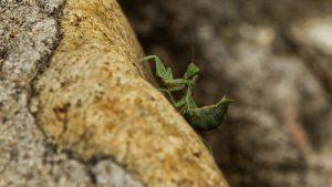 mantide religiosa insetto